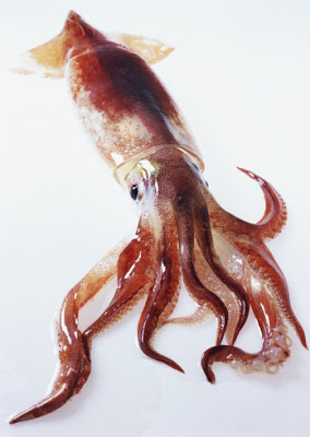 Sagittated Calamary